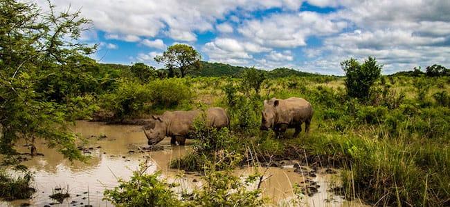 rhino hluhlwe imfolozi game reserve south africa safari
