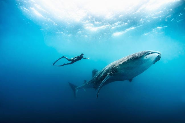 free diving whale shark zanzibar holiday
