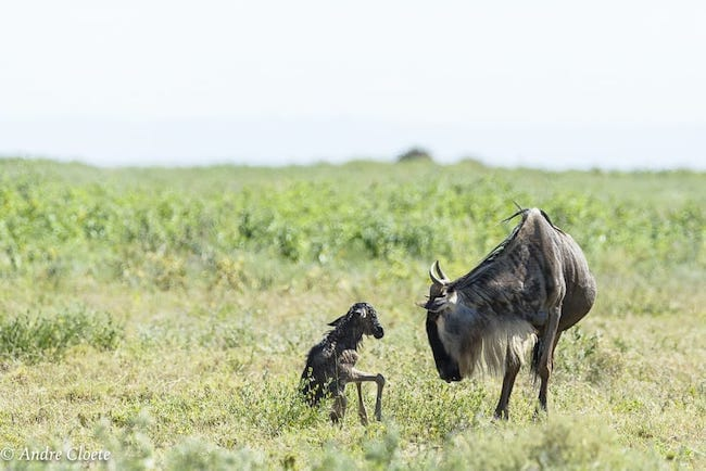 calving season great migration safari