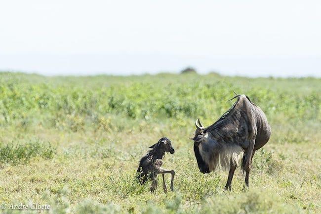calving season great migration safari