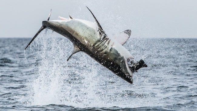 shark breaching south africa