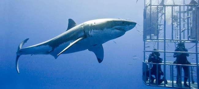 shark cage diving mossel bay south africa safari