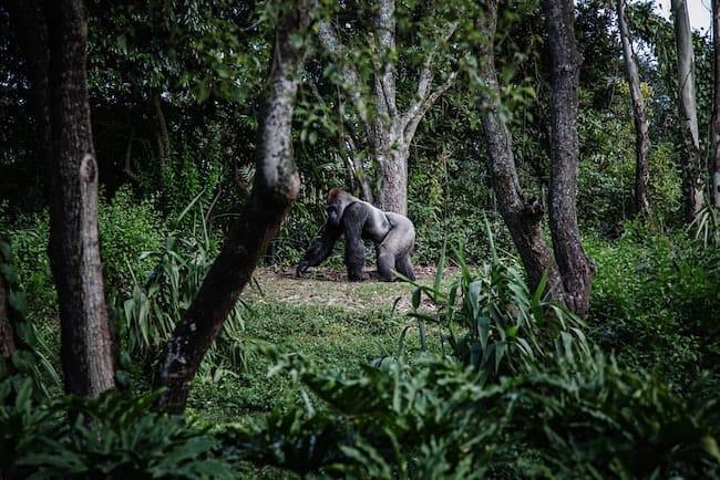 silverback gorilla trekking rwanda safari