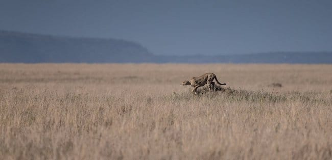 tazania safari cheetah wildlife