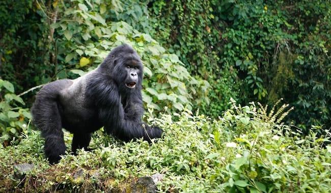 virunga mountain gorilla trekking