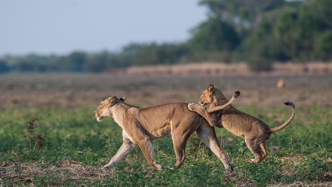 western zambia safari lion and cub