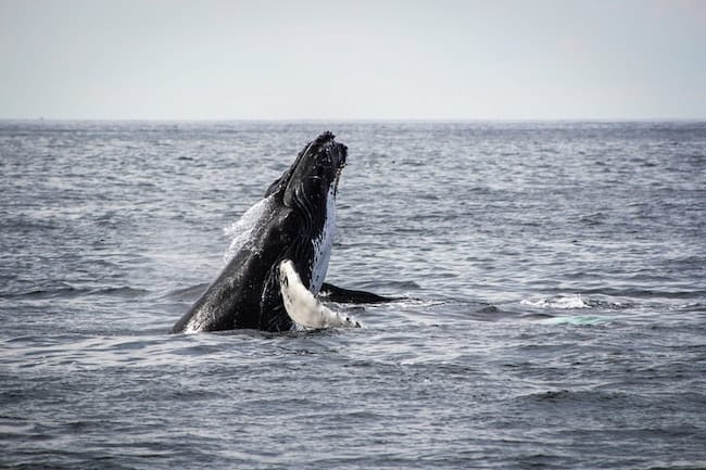 whale breaching south africa discover africa safaris