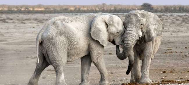 etosha national park white elephants