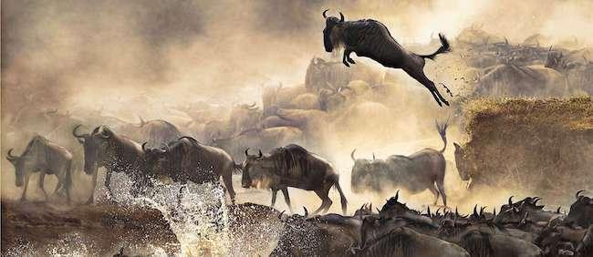 wildebeest migration river crossing